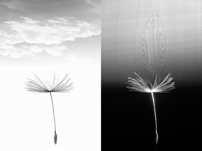 Dandelion seed flight Halo Vortex Ring Lifts Dandelion Seeds With Clouds
